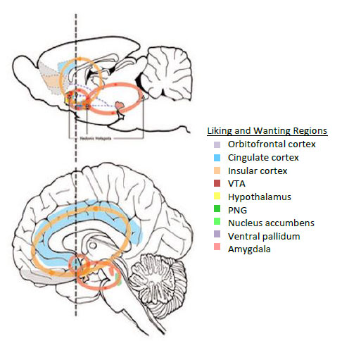 Figure 2. Hedonic Brain Circuits. Adapted from (8).